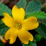 Damiana: Getting A Safe And Natural Sexual Boost (Plus A Lot More!)